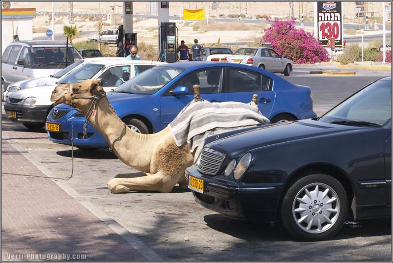 A camel sitting in a parking space next to some cars